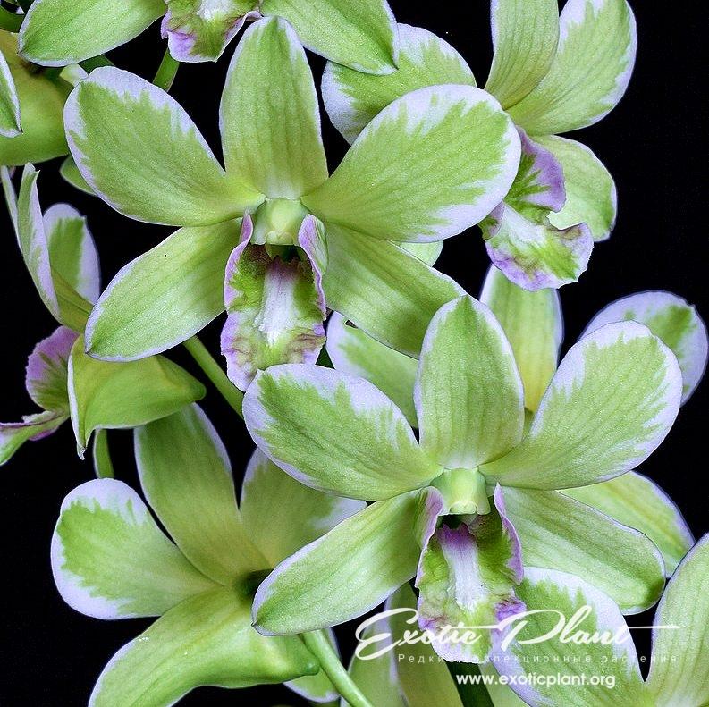 Dendrobium Burana Green variegated (Dendrobium Chittraphong × Dendrobium Yong Kok Wah) Дендробиум Бурана Грин вариегатный