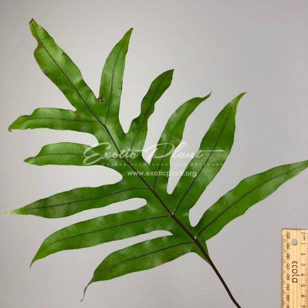Drynaria sp.(T09) (Black vein) / Дринания сп (Т09) (Блэк вейн, Черное жилкование)