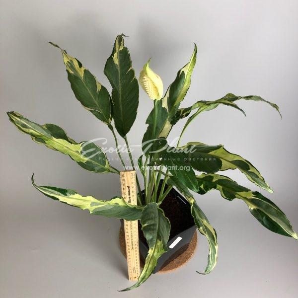 Spathiphyllum hybrid ex Indonesia#2 / Спатифиллум гибрид экс Индонезия №2