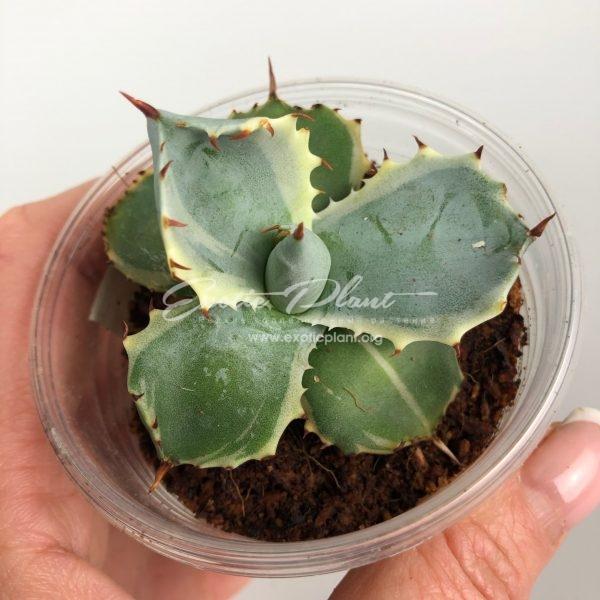 agave isthmensis Kabutogani marginata / агава истменсис Кабутогани маргината