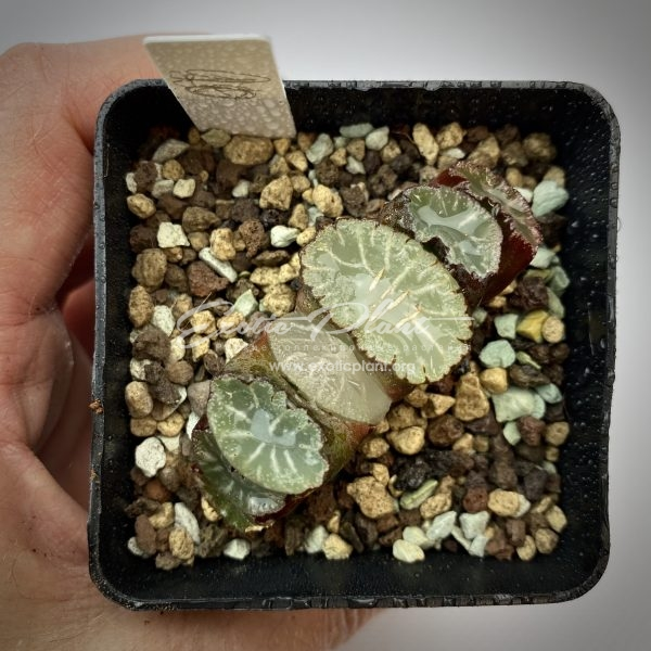 20 haworthia truncata Hakua ex Japan