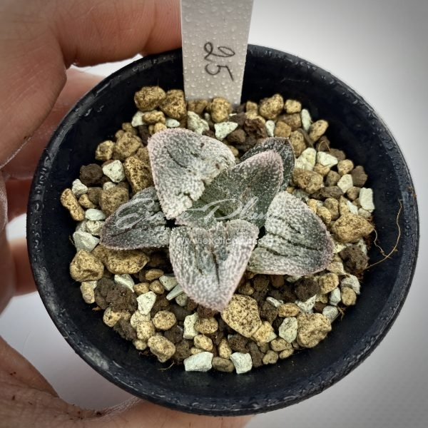 25 Haworthia Railway Silver ex Japan