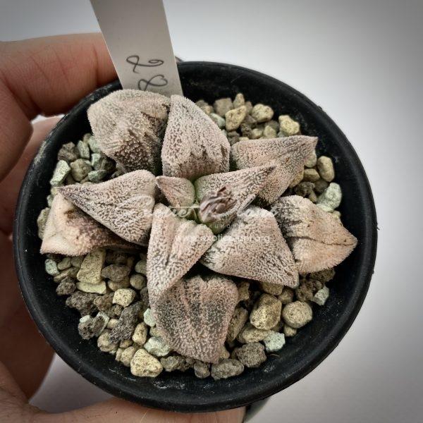 28 haworthia pygmaea Soul Offer ex Japan