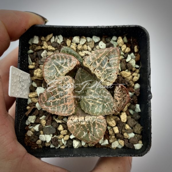 40 haworthia comptoniana Shousei ex Japan