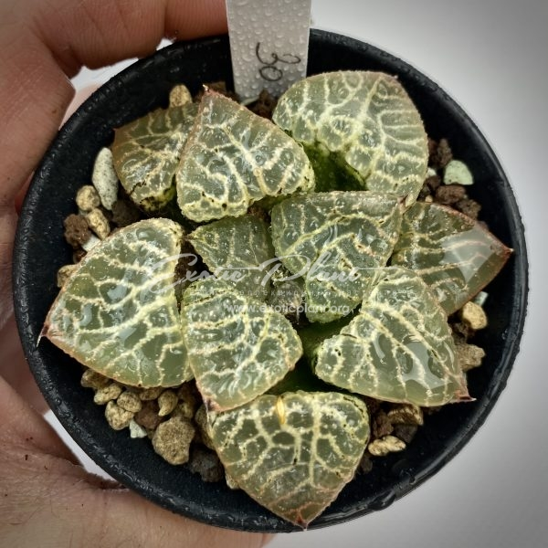 41 haworthia comptoniana Shousei ex Japan