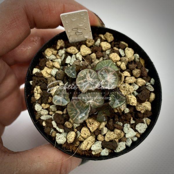 60 haworthia maughanii Wayouzai ex Japan