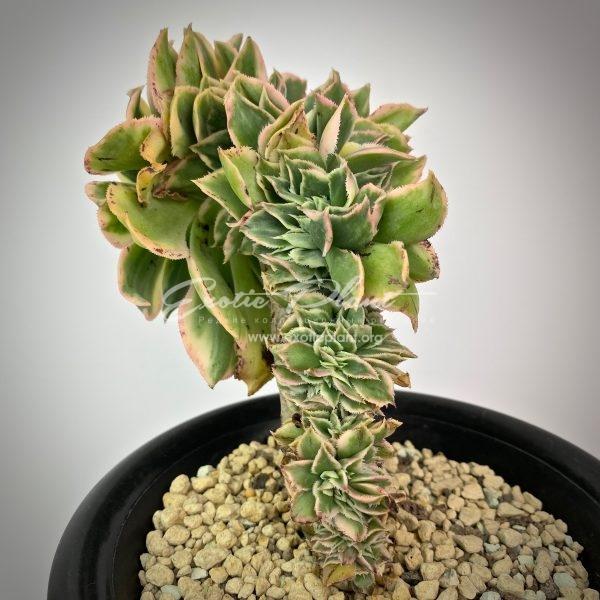 Aeonium Sunburst cristata