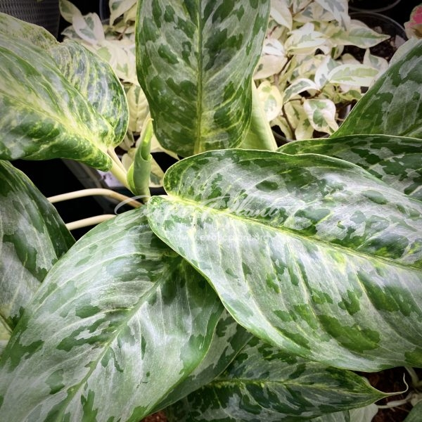 Aglaonema Peacock