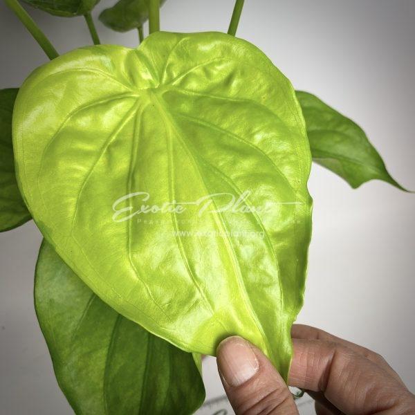 Alocasia cucullata Lemon variegated