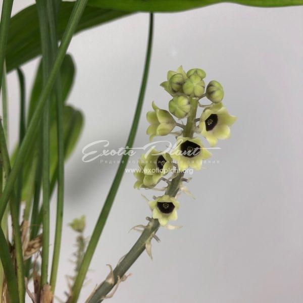 Aspidistra sp.(T07) variegata 30