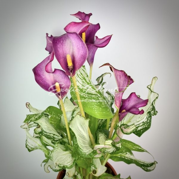 Calla Frozen Queen