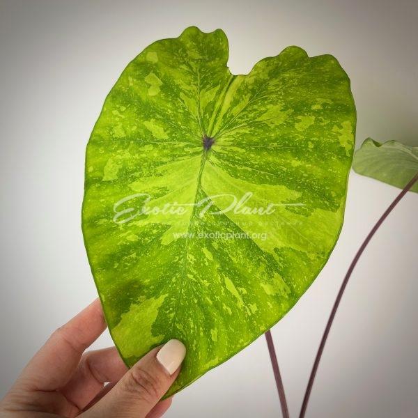 Colocasia esculenta variegata = Colocasia sp.(T01) variegated
