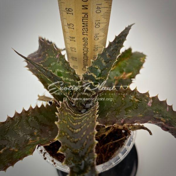 Cryptanthus Kamehameha