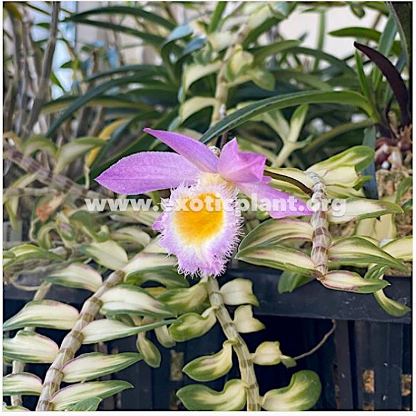 Dendrobium loddigesii variegated