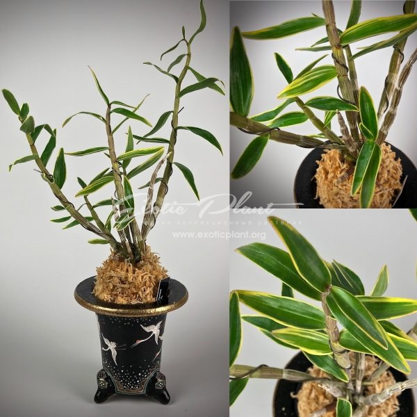 Dendrobium moniliforme Kitoumaru 帰途丸
