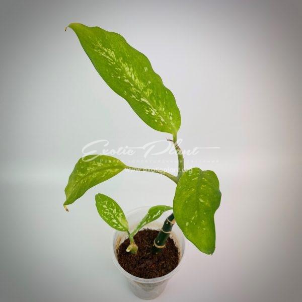 Dieffenbachia Mojito