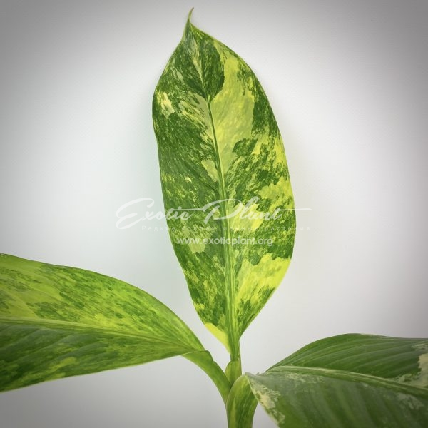 Dieffenbachia Yellow variegated