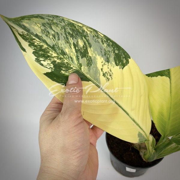 Dieffenbachia Yellow variegated