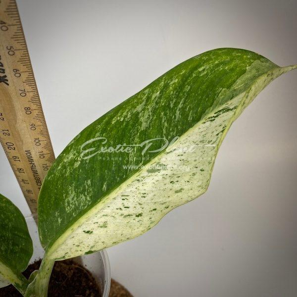 Dieffenbachia white variegated