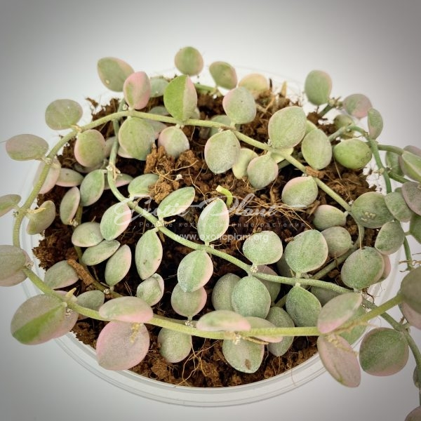 Dischidia nummularioides variegata Pebble Beach