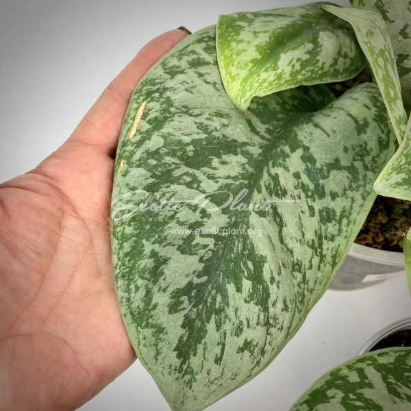 Epipremnum sp (J2) big leave