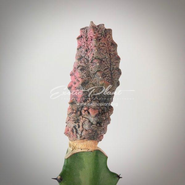Euphorbia abdelkuri cv. Damask