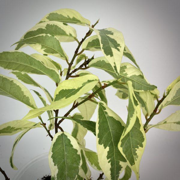 Ficus sagittata albomarginata
