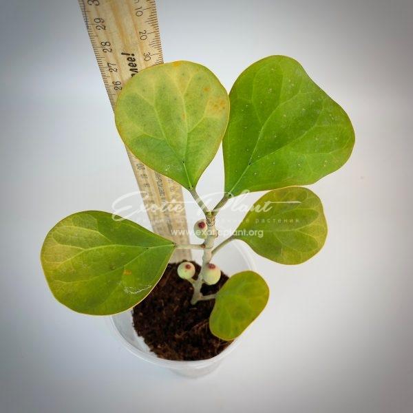 Ficus sp.(T08 ) Golden variegated
