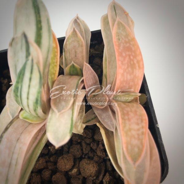 Gasteria nigricans v. marmorata Гастерия нигриканс мармората