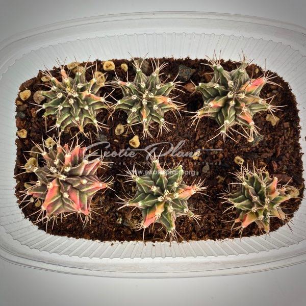 Gymnocalycium mihanovichii variegated
