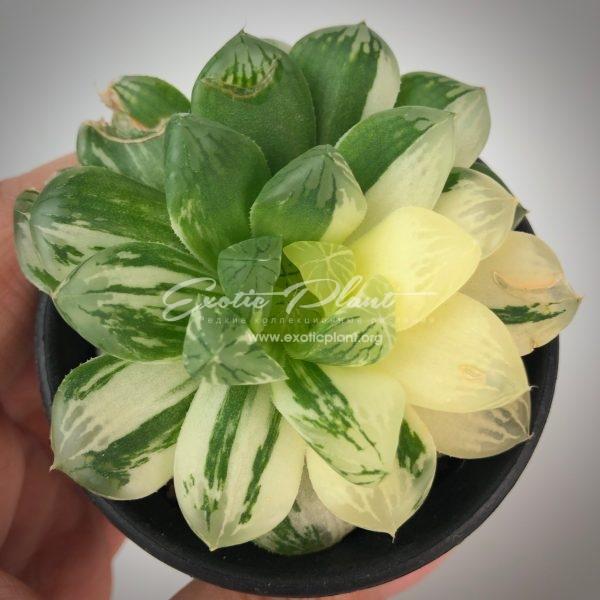 Haworthia obtusa Himawari variegate