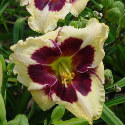 Hemerocallis Celebration of Angels