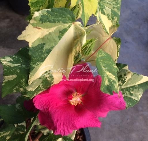 Hibiscus mutabilis variegated#3
