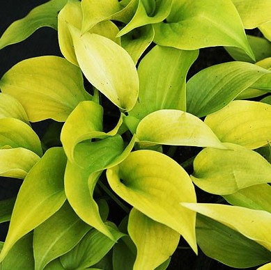 Hosta Appletini