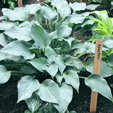 Hosta Azurtini