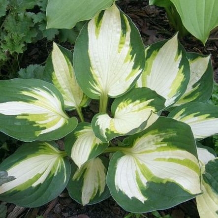 Hosta Color Festival