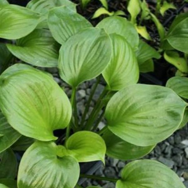 Hosta Doubled Up