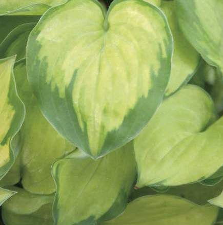 Hosta Faithfull Heart