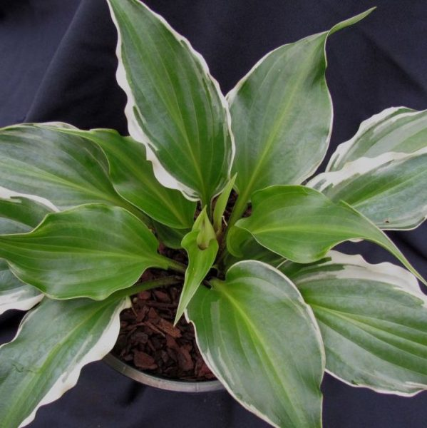 Hosta Frosted Raspberry