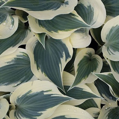 Hosta Great Excape