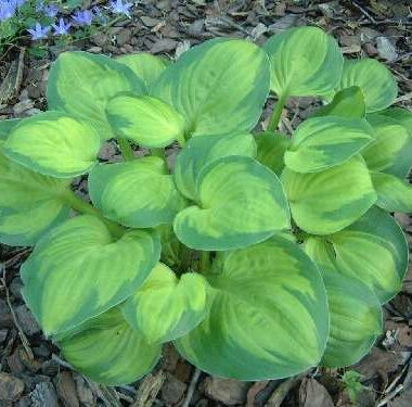 Hosta Heart and Soul