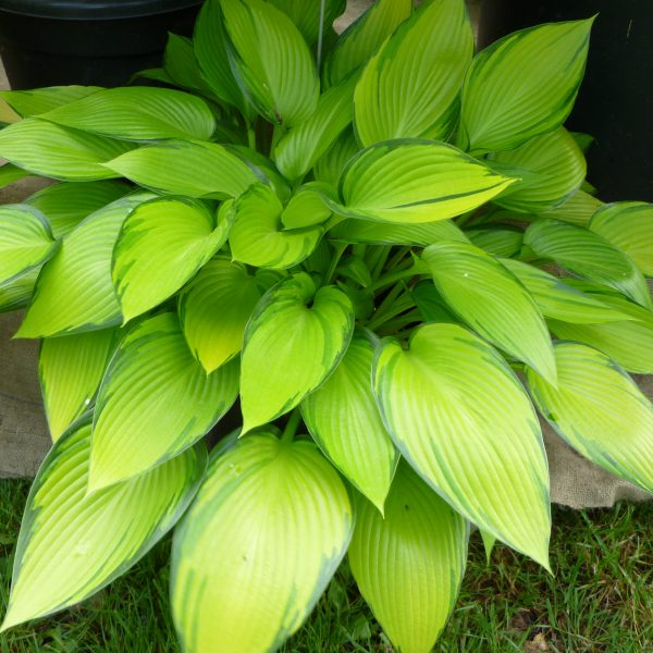 Hosta June Fever