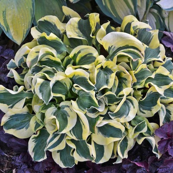 Hosta Mini Skirt