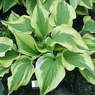 Hosta Silk Road