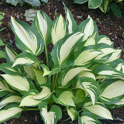 Hosta Tongue of Flame