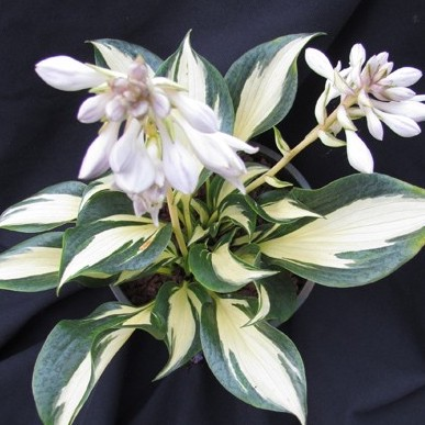 Hosta White Jewel