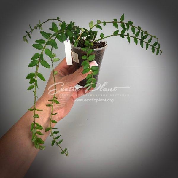 Hoya bella (miniature)=weebella (31 )№2