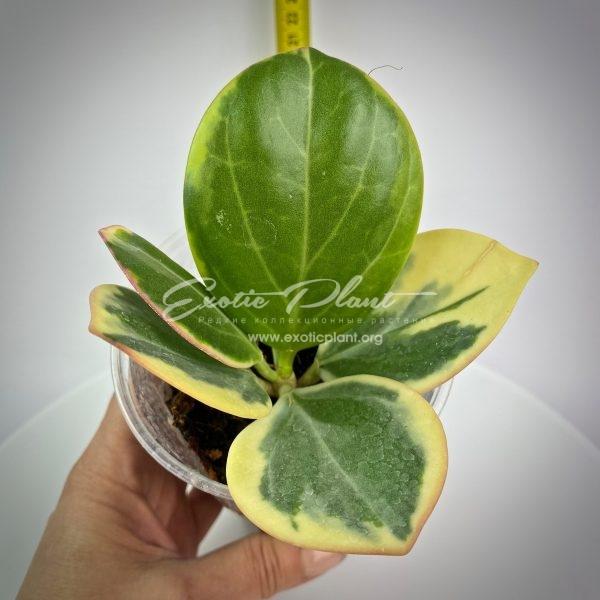 Hoya pachyclada variegata (190 )