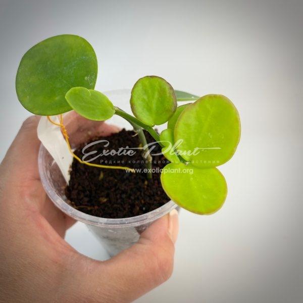 Hoya sp. Biakensis PNG (236 )