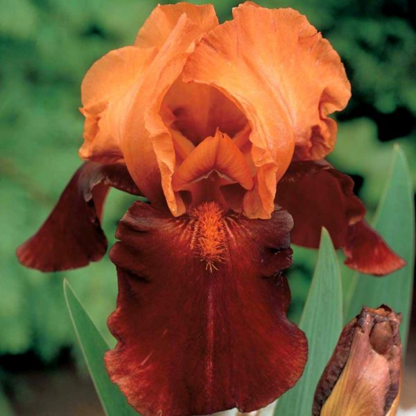 Iris Germanica Howard Weed